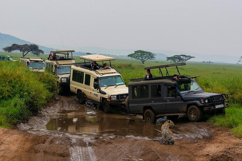 Leopard (Panthera pardus) and safari vehicles, Seronera, Serengeti National Park, Tanzania, East Africa, Africa - 741-5902