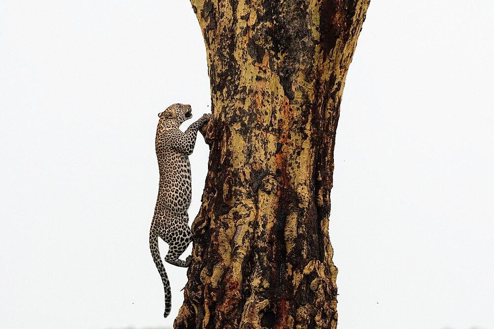 Leopard (Panthera pardus), Seronera, Serengeti National Park, Tanzania, East Africa, Africa - 741-5903