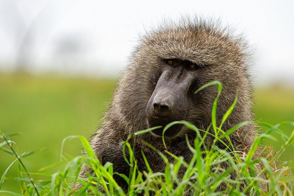 Olive Baboon (Papio anubis), Seronera, Serengeti National Park, Tanzania, East Africa, Africa - 741-5905
