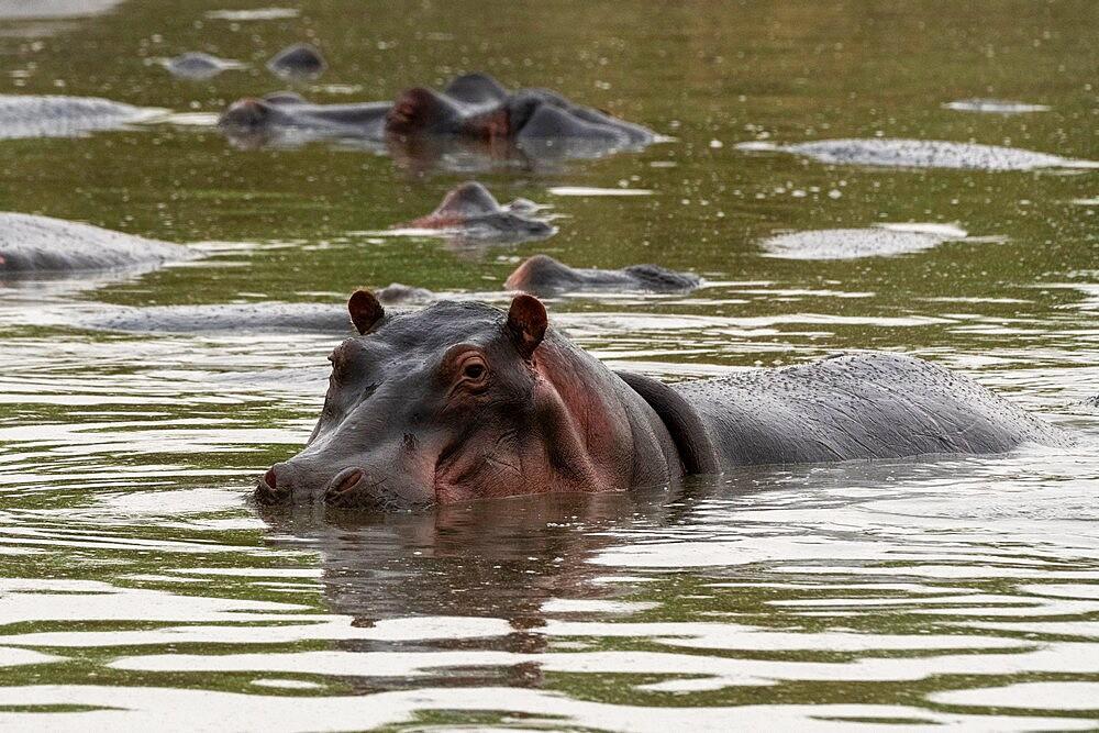 Hippopotamus (Hippopotamus amphibius), Seronera, Serengeti National Park, Tanzania, East Africa, Africa - 741-5906
