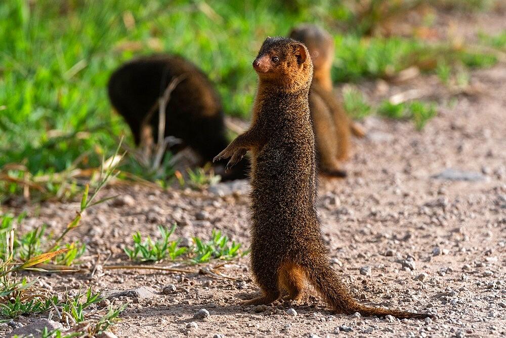 Dwarf mongoose (Helogale parvula), Seronera, Serengeti National Park, Tanzania, East Africa, Africa - 741-5912