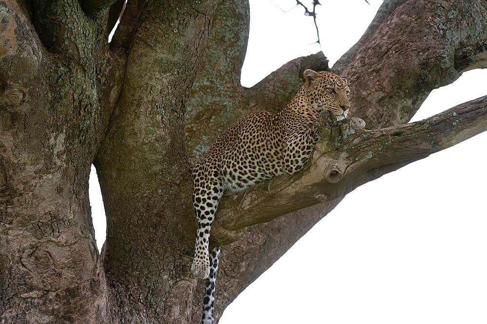 Leopard (Panthera pardus), Seronera, Serengeti National Park, Tanzania, East Africa, Africa - 741-5914