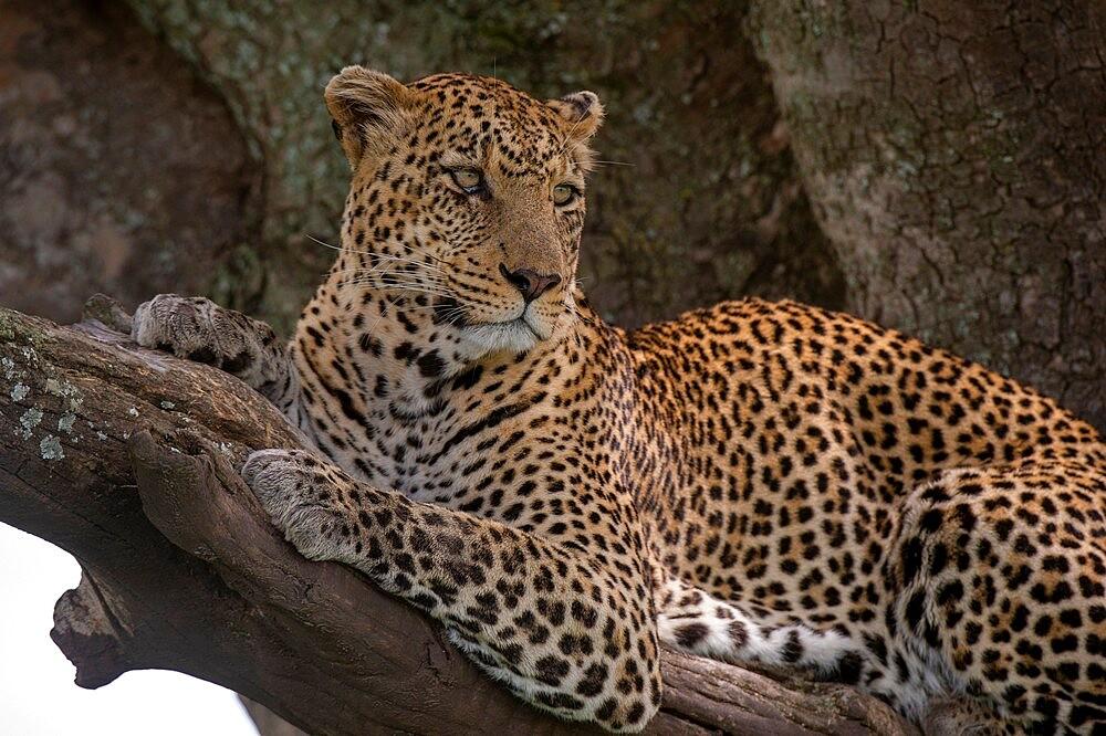 Leopard (Panthera pardus), Seronera, Serengeti National Park, Tanzania, East Africa, Africa - 741-5917