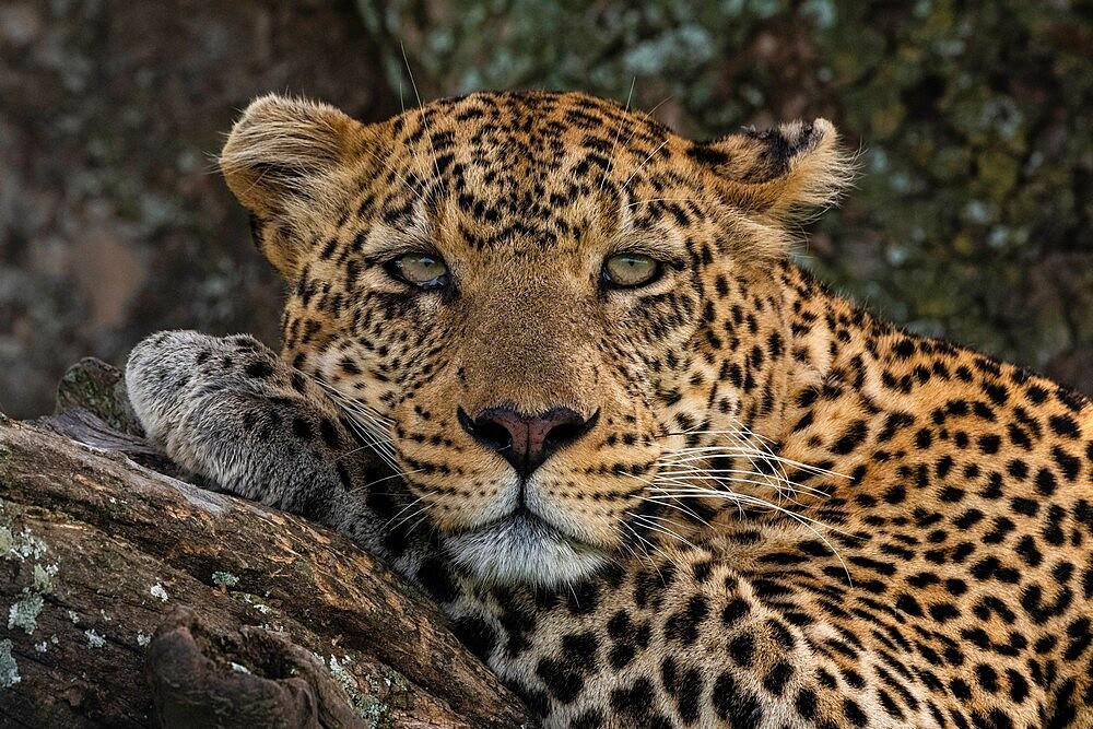 Leopard (Panthera pardus), Seronera, Serengeti National Park, Tanzania, East Africa, Africa - 741-5918