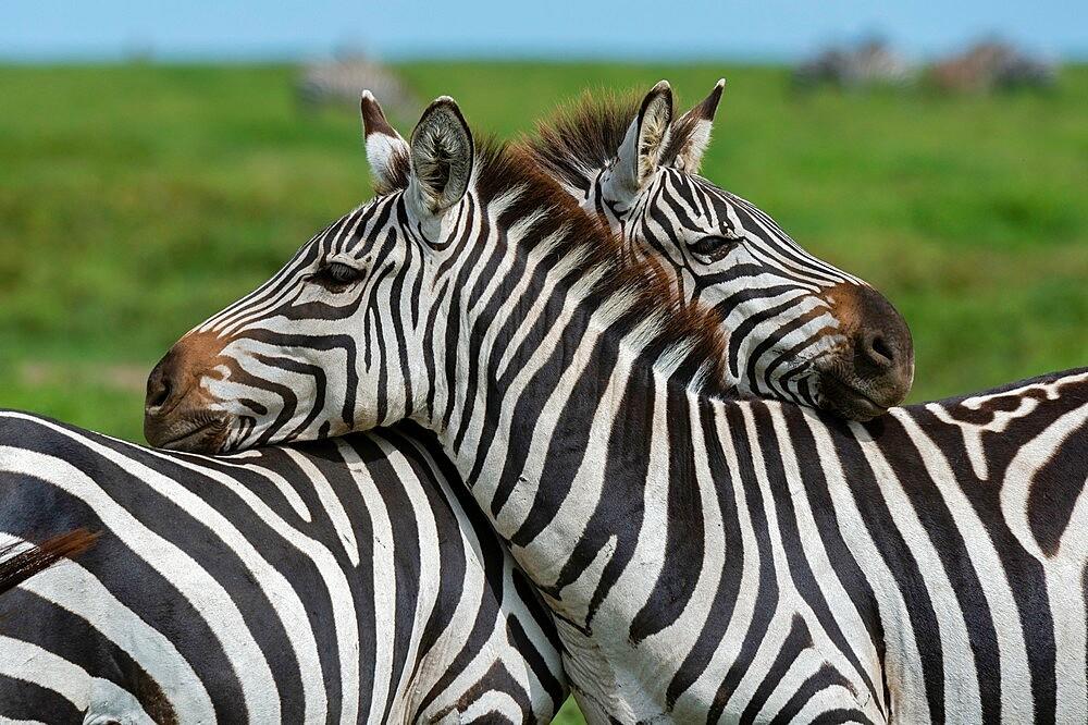 Plains zebras (Equus quagga), Ndutu, Ngorongoro Conservation Area, Serengeti, Tanzania, East Africa, Africa - 741-5919