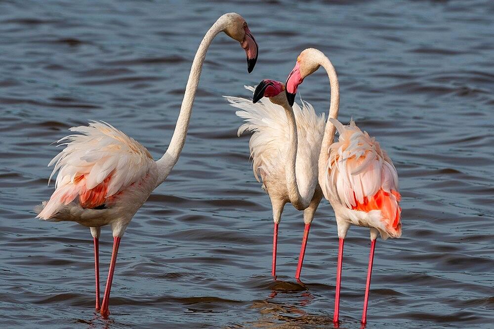 Greater flamingos (Phoenicopterus ruber) on Lake Ndutu, Ngorongoro Conservation Area, Serengeti, Tanzania, East Africa, Africa - 741-5925