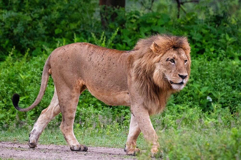 Lion (Panthera leo), Ndutu, Ngorongoro Conservation Area, Serengeti, Tanzania, East Africa, Africa - 741-5928