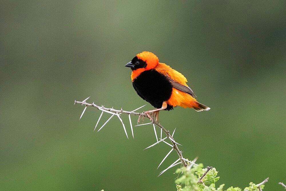 Black-winged Bishop (Euplectes hordeaceus), Ndutu, Ngorongoro Conservation Area, Serengeti, Tanzania, East Africa, Africa - 741-5929