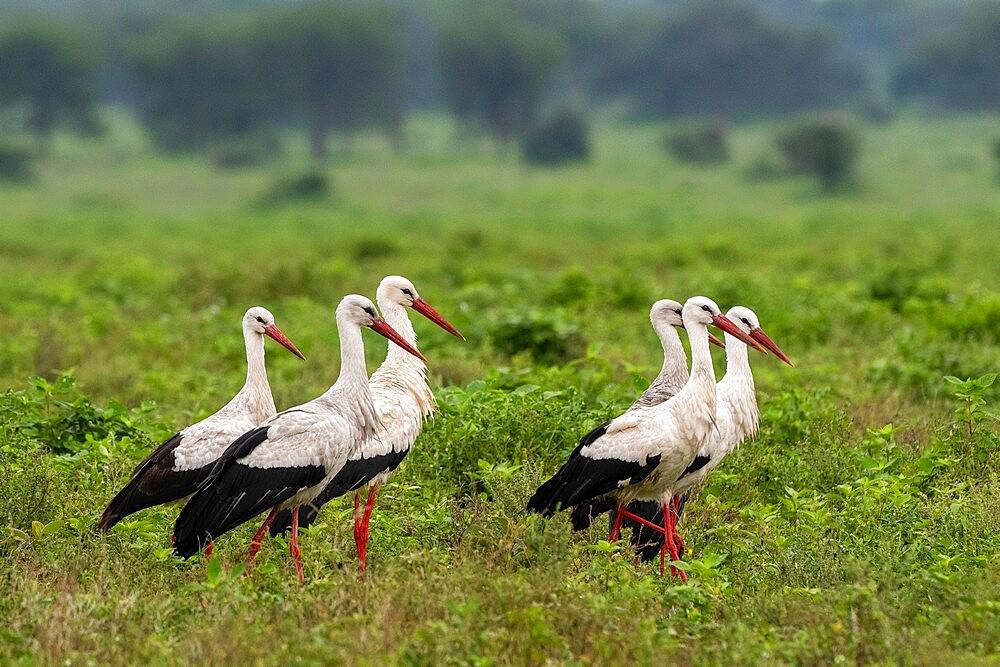 White storks (Ciconia ciconia), Ndutu, Ngorongoro Conservation Area, Serengeti, Tanzania, East Africa, Africa - 741-5931