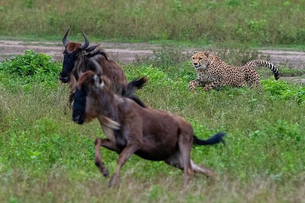 Cheetah (Acinonyx jubatus) hunting a wildebeest (Connochaetes taurinus), Ngorongoro Conservation Area, Serengeti, Tanzania, East Africa, Africa - 741-5932