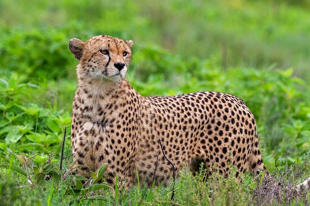 Cheetah (Acinonyx jubatus), Ndutu, Ngorongoro Conservation Area, Serengeti, Tanzania, East Africa, Africa - 741-5933