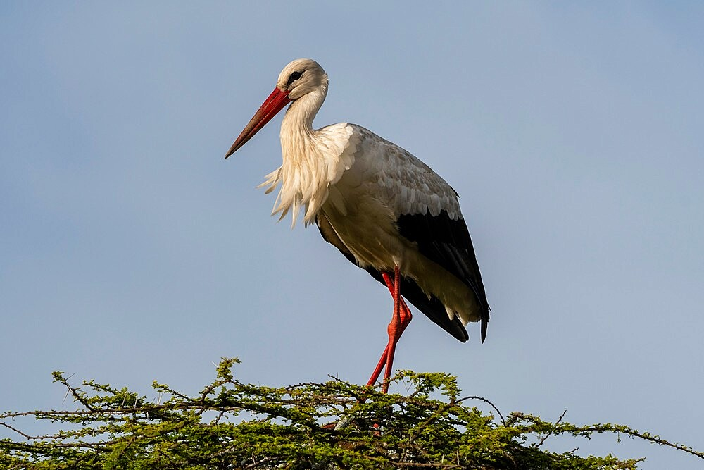 White stork (Ciconia ciconia), Ndutu, Ngorongoro Conservation Area, Serengeti, Tanzania, East Africa, Africa - 741-5936