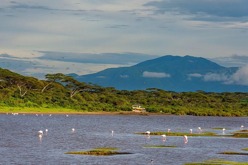 Greater flamingos (Phoenicopterus ruber) on Lake Ndutu, Ngorongoro Conservation Area, UNESCO World Heritage Site, Serengeti, Tanzania, East Africa, Africa - 741-5937