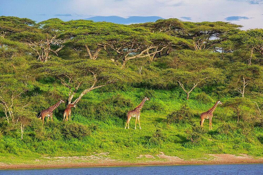 Masai giraffe (Giraffa camelopardalis tippelskirchi), Ndutu, Ngorongoro Conservation Area, UNESCO World Heritage Site, Serengeti, Tanzania, East Africa, Africa - 741-5938