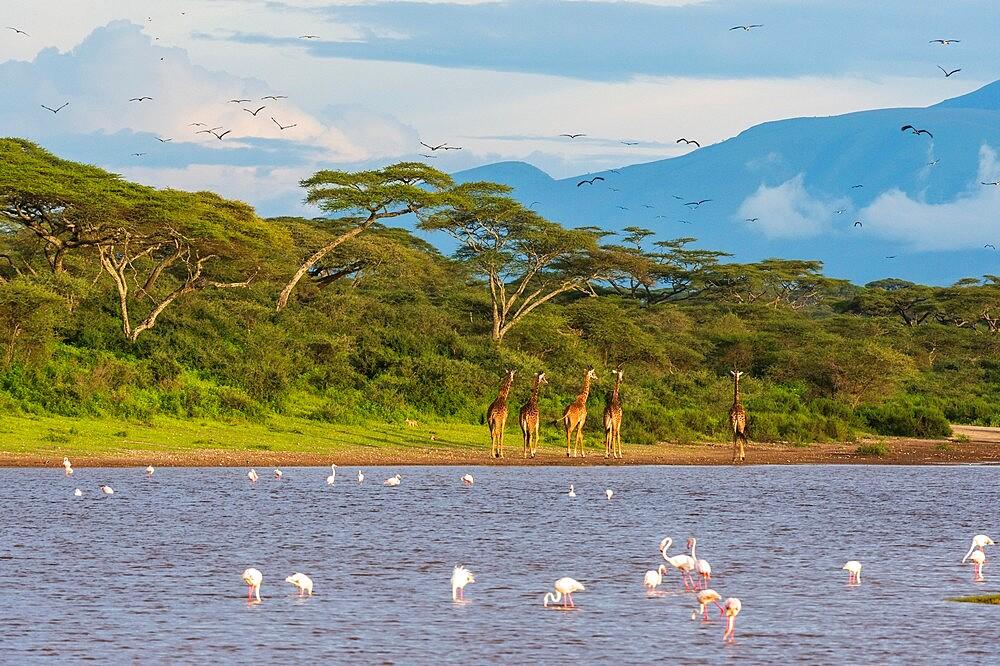 Masai giraffe (Giraffa camelopardalis tippelskirchi), Ndutu, Ngorongoro Conservation Area, UNESCO World Heritage Site, Serengeti, Tanzania, East Africa, Africa - 741-5939