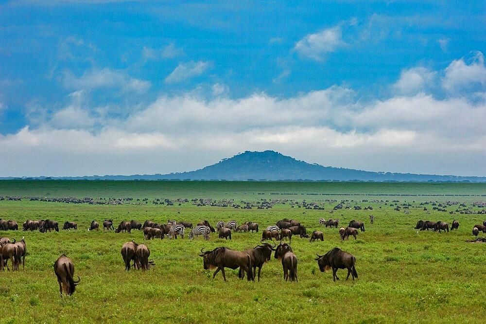 Wildebeests (Connochaetes taurinus) and plains zebras (Equus quagga) grazing, Ngorongoro Conservation Area, UNESCO World Heritage Site, Serengeti, Tanzania, East Africa, Africa - 741-5941