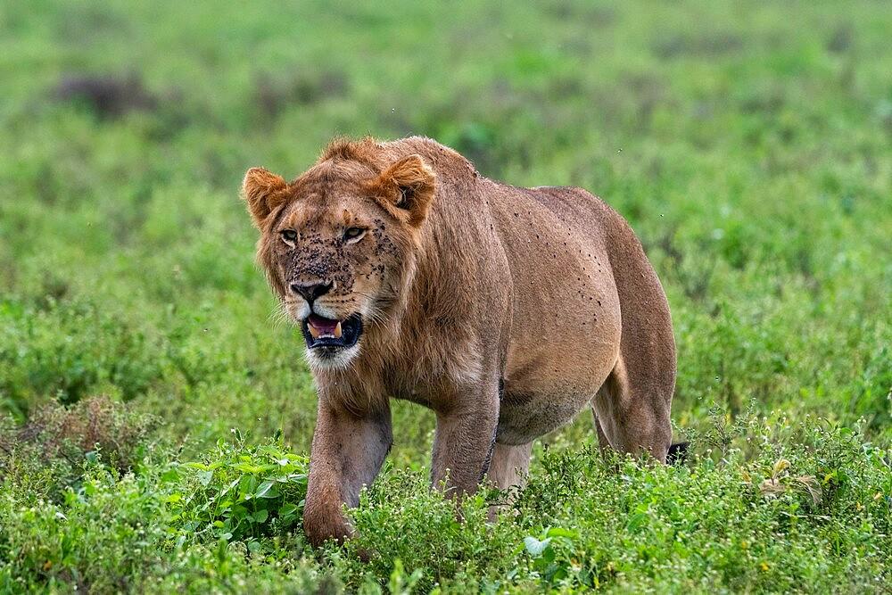 Lion (Panthera leo), Ndutu, Ngorongoro Conservation Area, Serengeti, Tanzania, East Africa, Africa - 741-5942