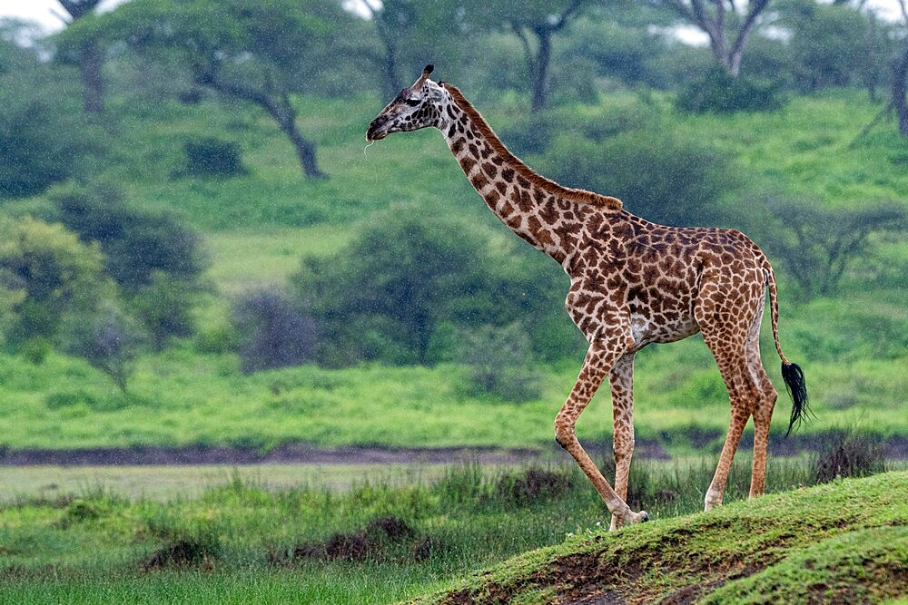 Masai giraffe (Giraffa camelopardalis tippelskirchi), Ndutu, Ngorongoro Conservation Area, UNESCO World Heritage Site, Serengeti, Tanzania, East Africa, Africa - 741-5948