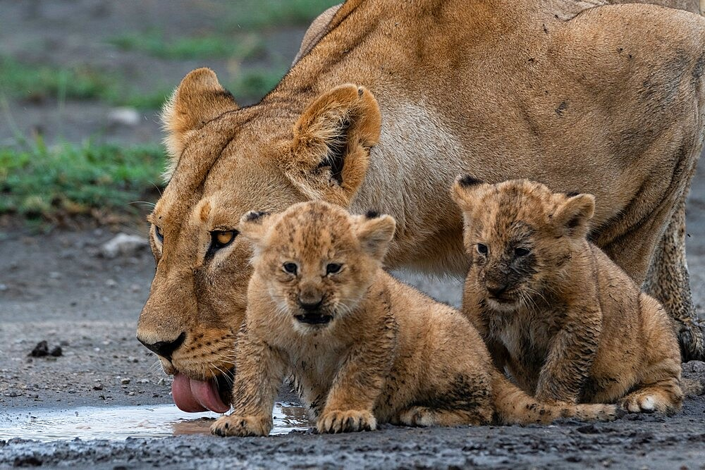 A lioness (Panthera leo) with its four week old cubs, Ndutu, Ngorongoro Conservation Area, Serengeti, Tanzania, East Africa, Africa - 741-5949