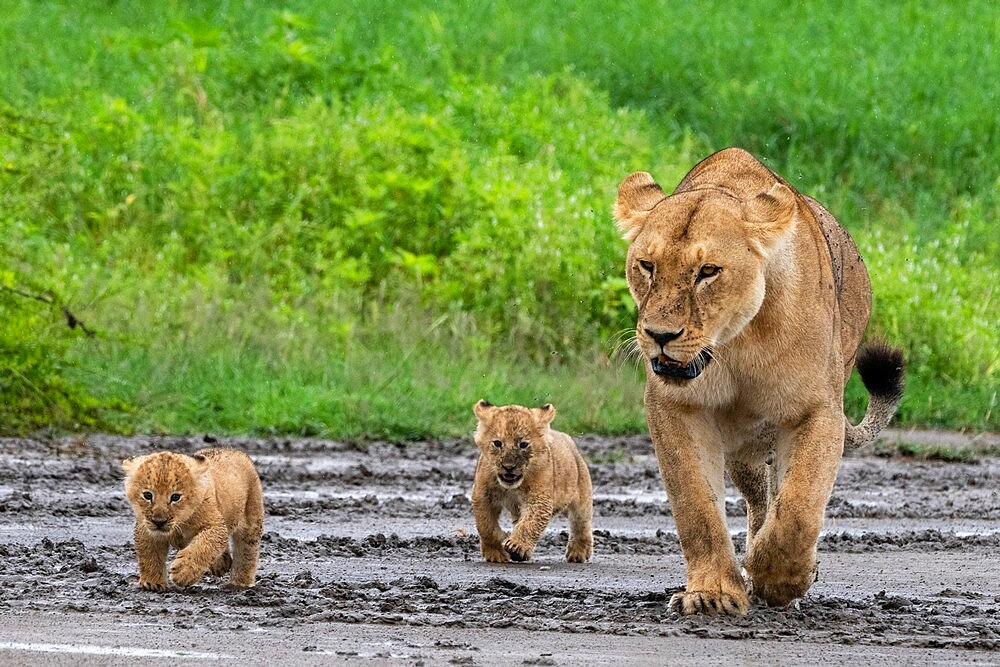 A lioness (Panthera leo) with its four week old cubs, Ndutu, Ngorongoro Conservation Area, Serengeti, Tanzania, East Africa, Africa - 741-5950