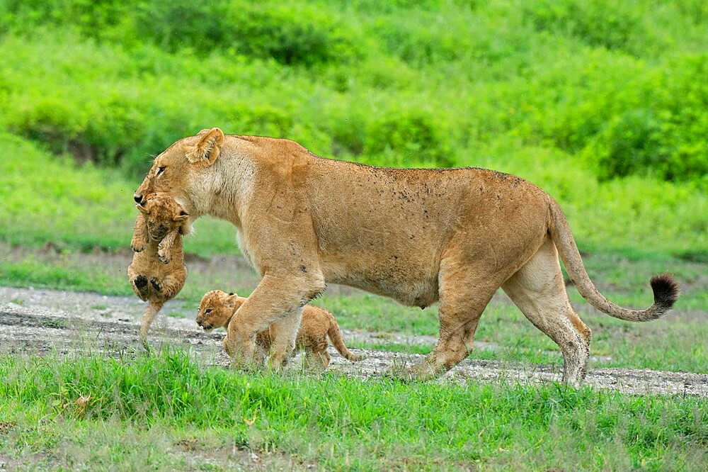 A lioness (Panthera leo) with its four week old cubs, Ndutu, Ngorongoro Conservation Area, Serengeti, Tanzania, East Africa, Africa - 741-5954