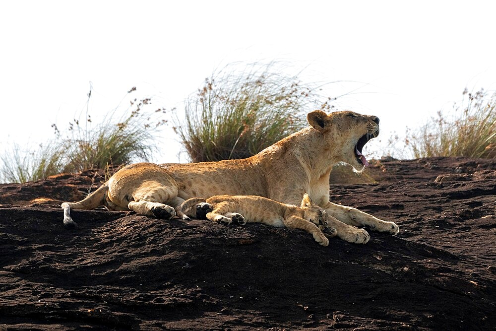 Lioness and cub on the Lion Rock, a promontory which has inspired the Disney movie The Lion King, Lualenyi, Kenya, East Africa, Africa - 741-5956