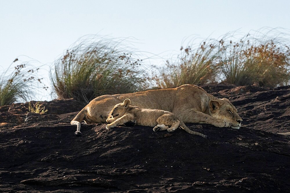 Lioness and cub on the Lion Rock, a promontory which has inspired the Disney movie The Lion King, Lualenyi, Kenya, East Africa, Africa - 741-5958