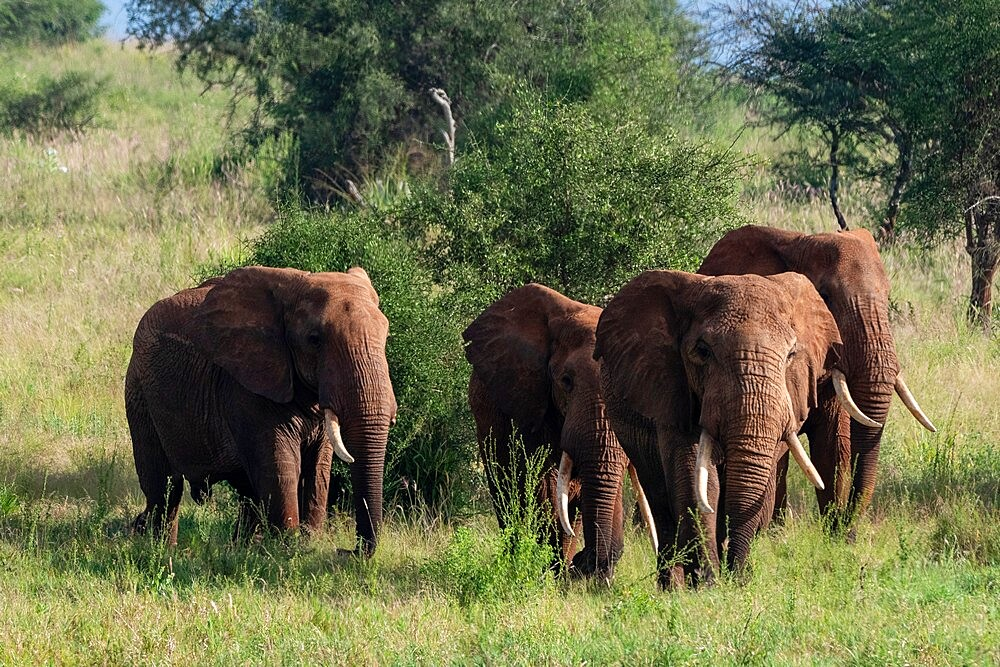 Lualenyi, Tsavo Conservation Area, Kenya, East Africa, Africa - 741-5962