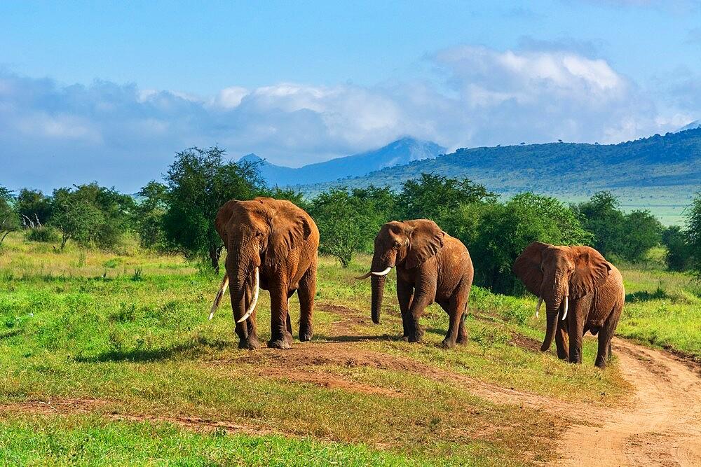 African elephants (Loxodonta africana), Lualenyi, Tsavo Conservation Area, Kenya, East Africa, Africa - 741-5963