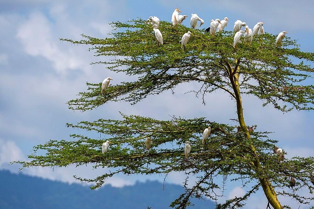 Cattle egrets (Bubulcus ibis), Lake Jipe, Tsavo West National Park, Kenya, East Africa, Africa - 741-5964