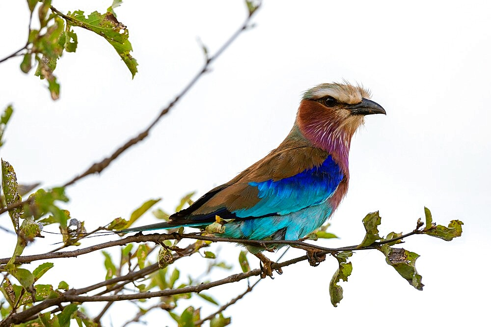 Lilac-breasted roller (Coracias caudata), Lualenyi, Tsavo Conservation Area, Kenya, East Africa, Africa - 741-5966