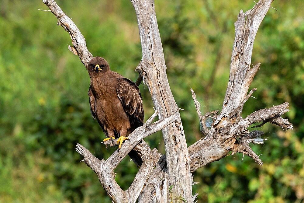 Wahlberg's Eagle (Hieraaetus wahlbergi), Lualenyi, Tsavo Conservation Area, Kenya, East Africa, Africa - 741-5967