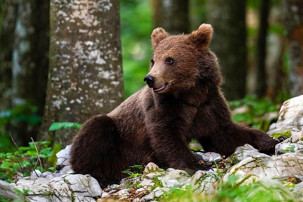 European brown bear (Ursus arctos), Notranjska forest, Slovenia, Europe - 741-5975