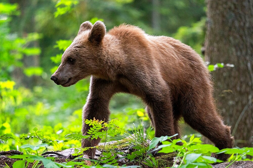 European brown bear (Ursus arctos), Notranjska forest, Slovenia, Europe - 741-5977