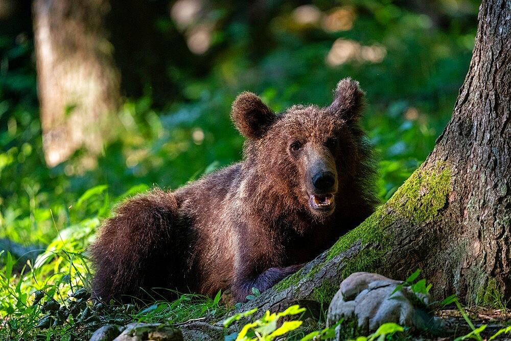 European brown bear (Ursus arctos), Notranjska forest, Slovenia, Europe - 741-5978