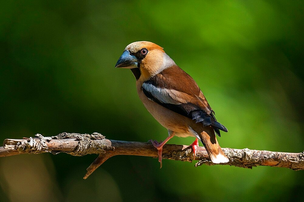 Hawfinch (Coccothraustes coccothraustes), Notranjska forest, Slovenia, Europe - 741-5979