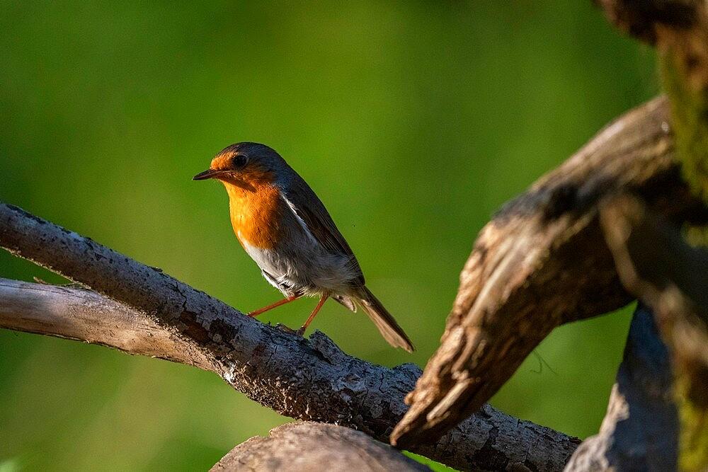 European robin (Erithacus rubecula), Notranjska forest, Slovenia, Europe - 741-5981