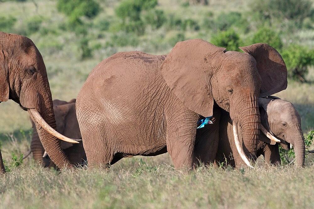 African elephants (Loxodonta africana) and calf, Tsavo, Kenya, East Africa, Africa - 741-5982