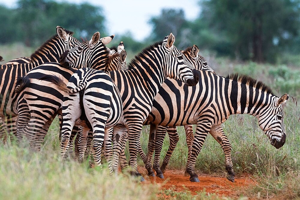 Plains zebras (Equus quagga), Tsavo, Kenya, East Africa, Africa - 741-5983
