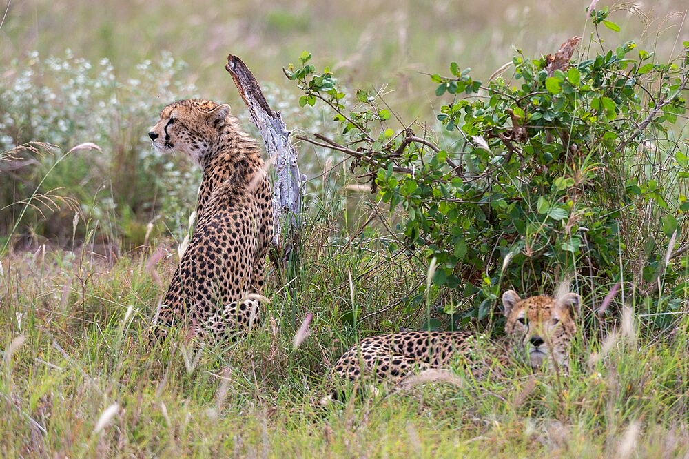 A cheetah (Acynonix jubatus) resting in the grass, Tsavo, Kenya, East Africa, Africa - 741-5984