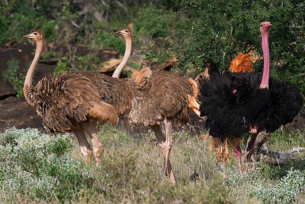Ostrich (Struthio camelus), Tsavo, Kenya, East Africa, Africa - 741-5987