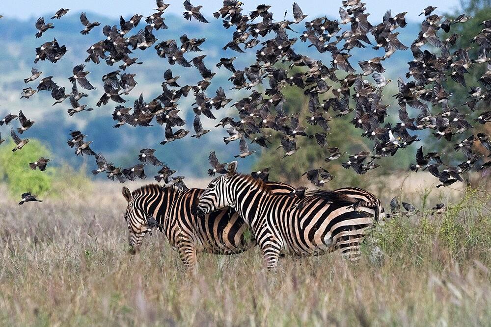 Barn swallows (Hirundo rustica), flying over two plains zebras (Equus quagga), Tsavo, Kenya, East Africa, Africa - 741-5988