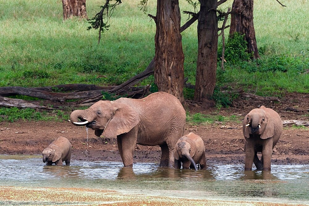 African elephants (Loxodonta africana) and calves drinking, Tsavo, Kenya, East Africa, Africa - 741-5990