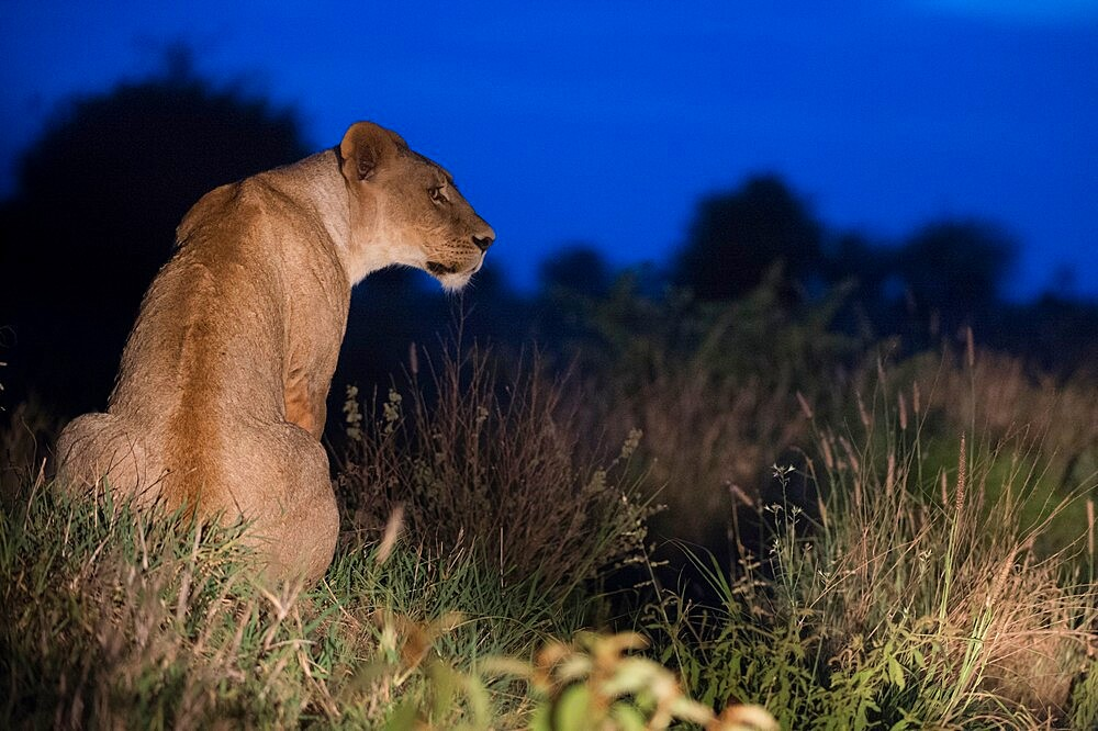 A lioness (Panthera leo) illuminated at night, rests on a termite mound, Tsavo, Kenya, East Africa, Africa - 741-5991
