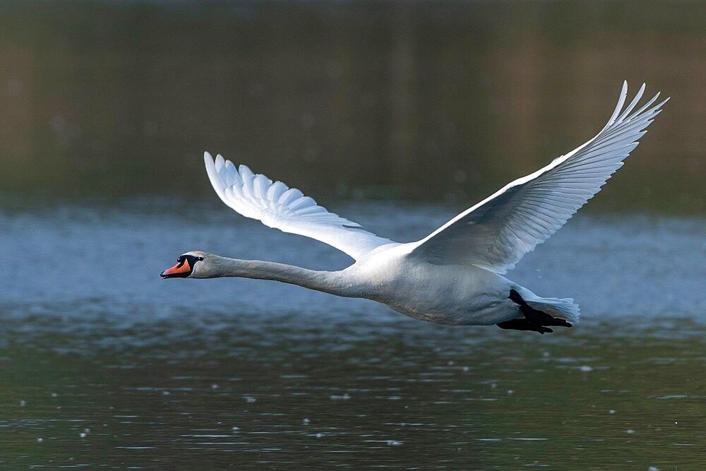 Mute Swan (Cygnus olor), Lake Varese, Varese, Lombardy, Italy, Europe - 741-5992