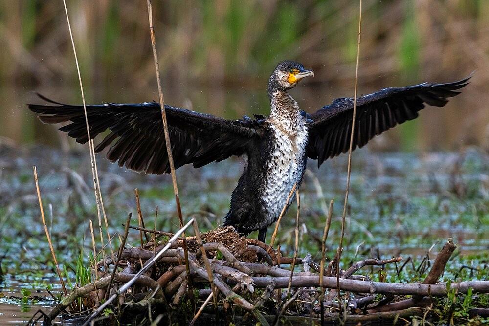 Cormorant (Phalocrocorax carbo), Lake Varese, Varese, Lombardy, Italy, Europe - 741-5993