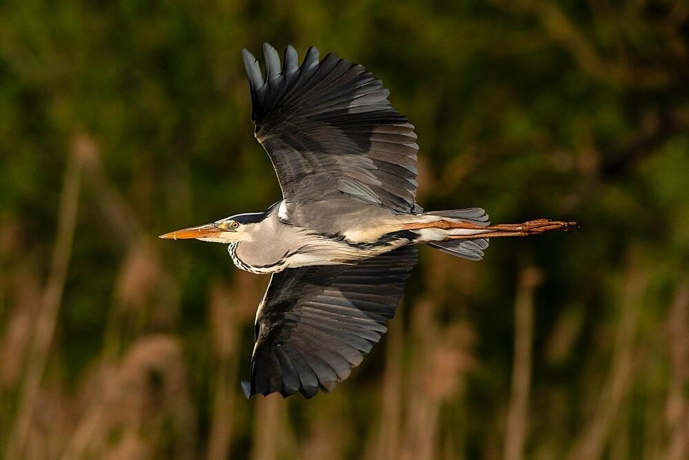 Grey heron (Ardea cinerea), Lake Varese, Varese, Lombardy, Italy, Europe - 741-5994