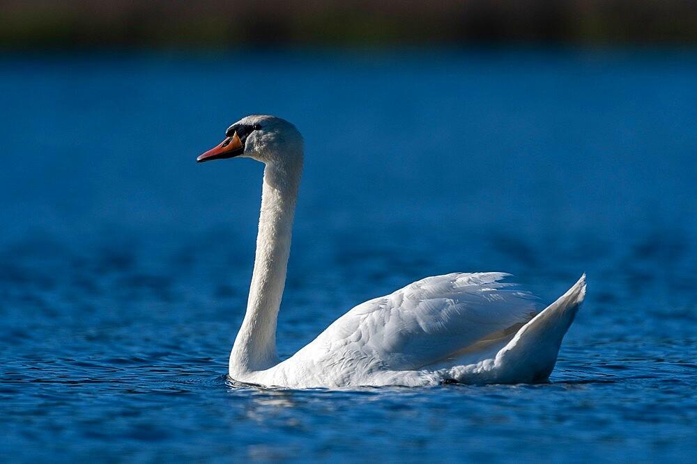 Mute Swan (Cygnus olor), Lake Varese, Varese, Lombardy, Italy, Europe - 741-5995