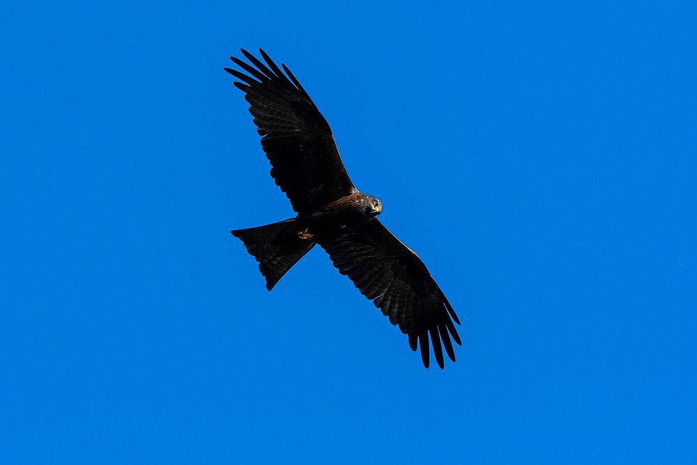 Black kite (Milvus migrans), Lake Varese, Varese, Lombardy, Italy, Europe - 741-5999