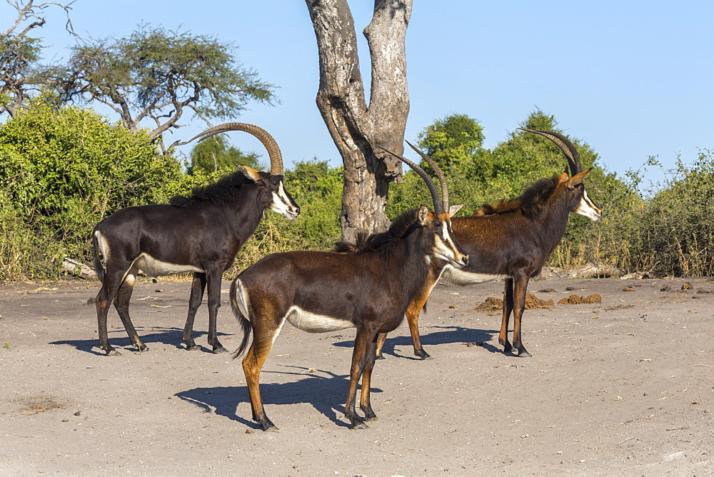 Sable (Hippotragus niger), Chobe National Park, Botswana, Africa - 743-1466